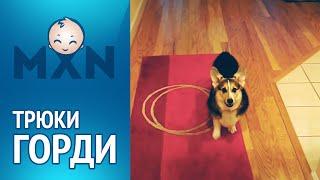 Трюки Горди. Забавная собака и ее хозяин приколист | Смотреть онлайн HD