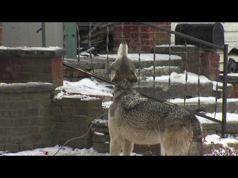 Canton police investigate theft of a wolf, owners fear for their pet's safety