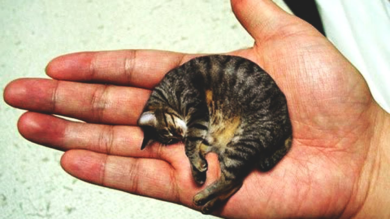 interesting smallest cat in the world guinness hercules m