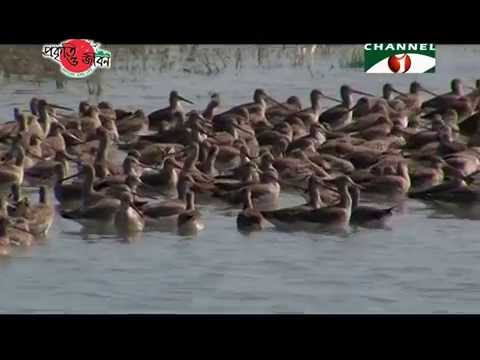 Nature and Life - Episode 223 (Plover & Godwit)