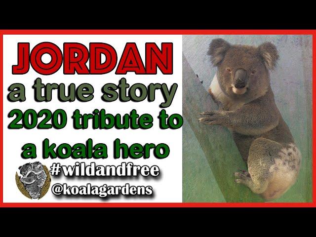 Jordan - 2020 a tribute to a true koala hero.
