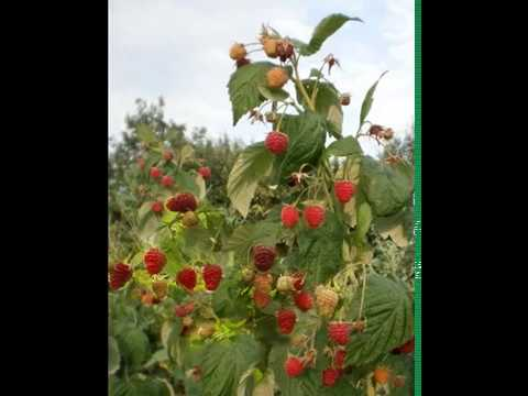 Сорт малины Феномен | описание | феномен | саженци | обрезка | малиной | сортов | малины | малина | купить | ягода