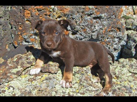 Chisolm at 6 weeks - Australian Kelpie Puppy