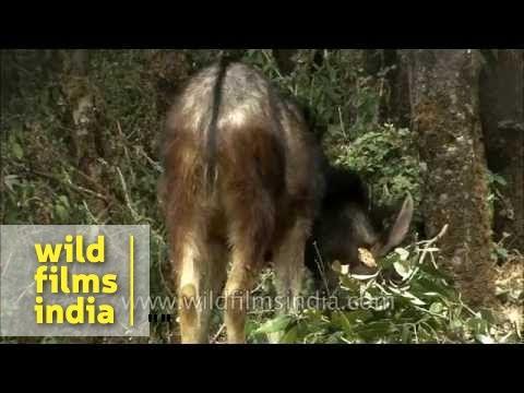 Serow - an ungulate of the Himalaya