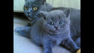 Британские котята из питомника Silvery Snow /запись 2002г.