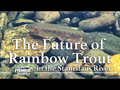 The Future Of Rainbow Trout In The Stanislaus River