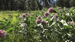how to grow milkweed