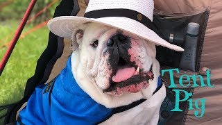 Lincoln's first full day of camping | ENGLISH BULLDOG