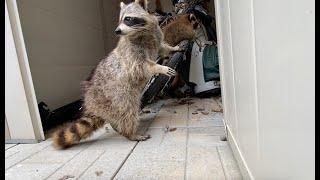 Raccoon Tenants Living Inside A Shed