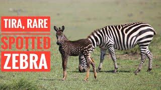 Rare Spotted Zebra
