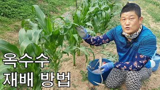 옥수수(찰옥수수) 재배 방법의 모든 것(비료주기, 병해충 설명) [농사의신] / Corn Cultivation