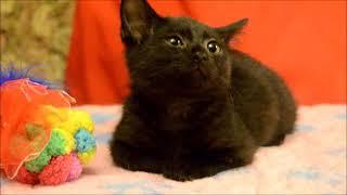 Москва. Маленький черненький котенок в дар!!Срочно!!