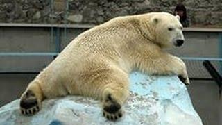 В ЗООПАРКЕ.Белые медведи.Тапиры.Мандрил.Лошадь.Леопард