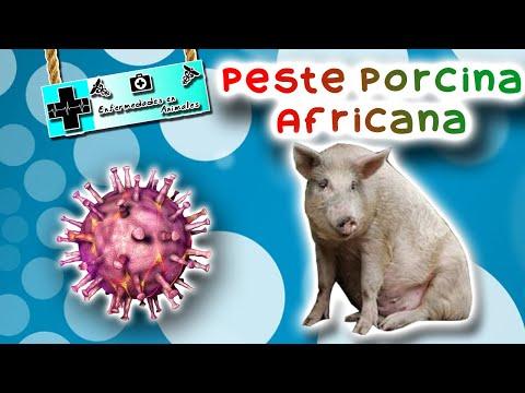 peste porcina africana: La enfermedad que está acabando con la porcicultura