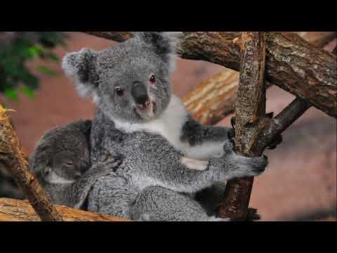Wild animal - Koala Bear