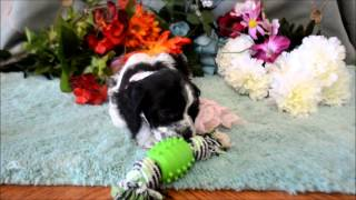 Cocker Spaniel Puppies For Sale **www.maryscockerhaven.com** 719-306-8118