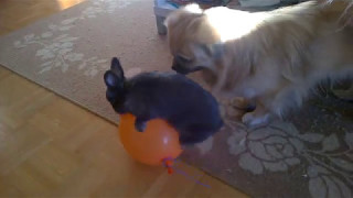 Download Video Dog disturbs the rabbit sex with a balloon MP3 3GP MP4