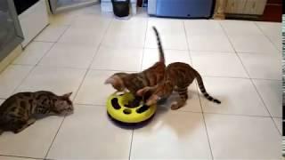 Бенгальские котята развлекаются
