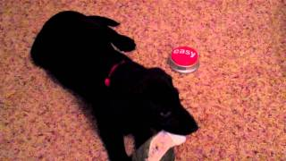 "Puppy Clicker Training - 10 Week Old Black Lab Learning To Push The ""easy"" Button Part 5"