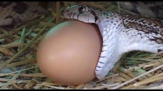 Giải mã bí ẩn: Động vật lớn nhất mà rắn có thể nuốt là gì?