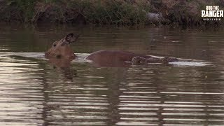 Helpless Impala Cant Escape The Jaws Of A Crocodile (Presented By Krazy King Virus)