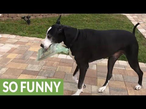 Great Dane enjoys her newspaper delivery job