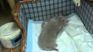 Приколы. Кошки. Смешные британские котята .