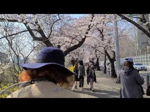 벚꽃 피는 윤중로-1 2020 3. 29.오후