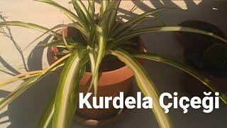 Kurdela Çiçeği, Chlorophytum, Nasıl Çoğaltılır, Deneme Yanılma Yöntemiyle Keşfediyoruz | Köy Yolum
