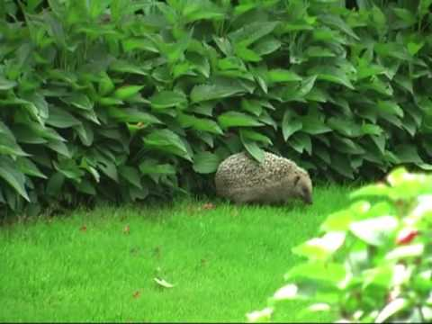 igel im garten hedgehog in our garden youtube. Black Bedroom Furniture Sets. Home Design Ideas