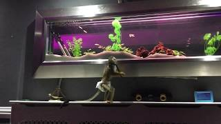 FUNNY MONKEY TRIES TO GET FISH FROM TANK /SQUIRREL MONKEY