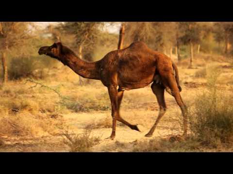 Camel (Indian Camel )