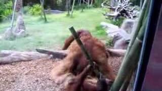 Orangutan gangbang