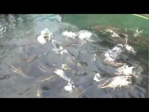 Cobia Fish Cage Culture In INDIA.