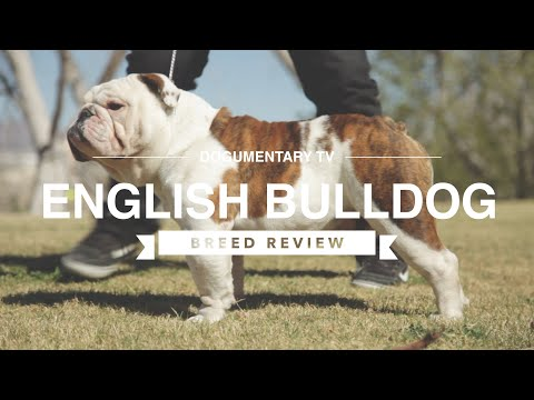 ENGLISH BULLDOG BREED REVIEW
