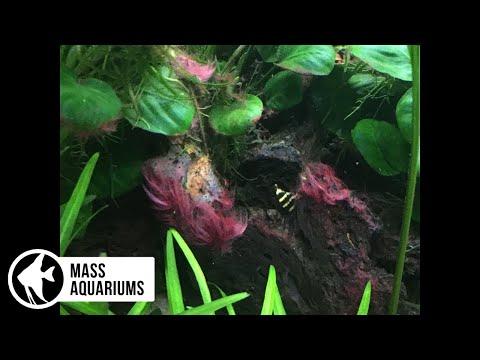 How To Kill Black Beard Algae in A Planted Aquarium