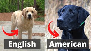 American Labrador vs English Labrador: Which one is best for you?