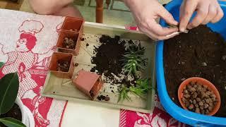 Домашние растения. В этом видео я расскажу, как пересаживаю Хавортию полосатую с отделением деток.