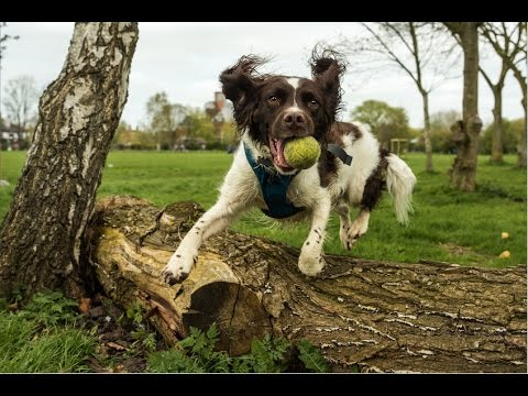 FUNNY SLOW MOTION! Samson The English Springer Spaniel