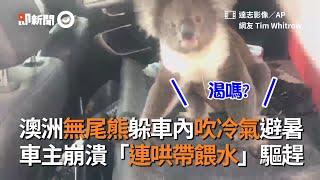 澳洲無尾熊躲車內吹冷氣避暑 車主崩潰「連哄帶餵水」驅趕