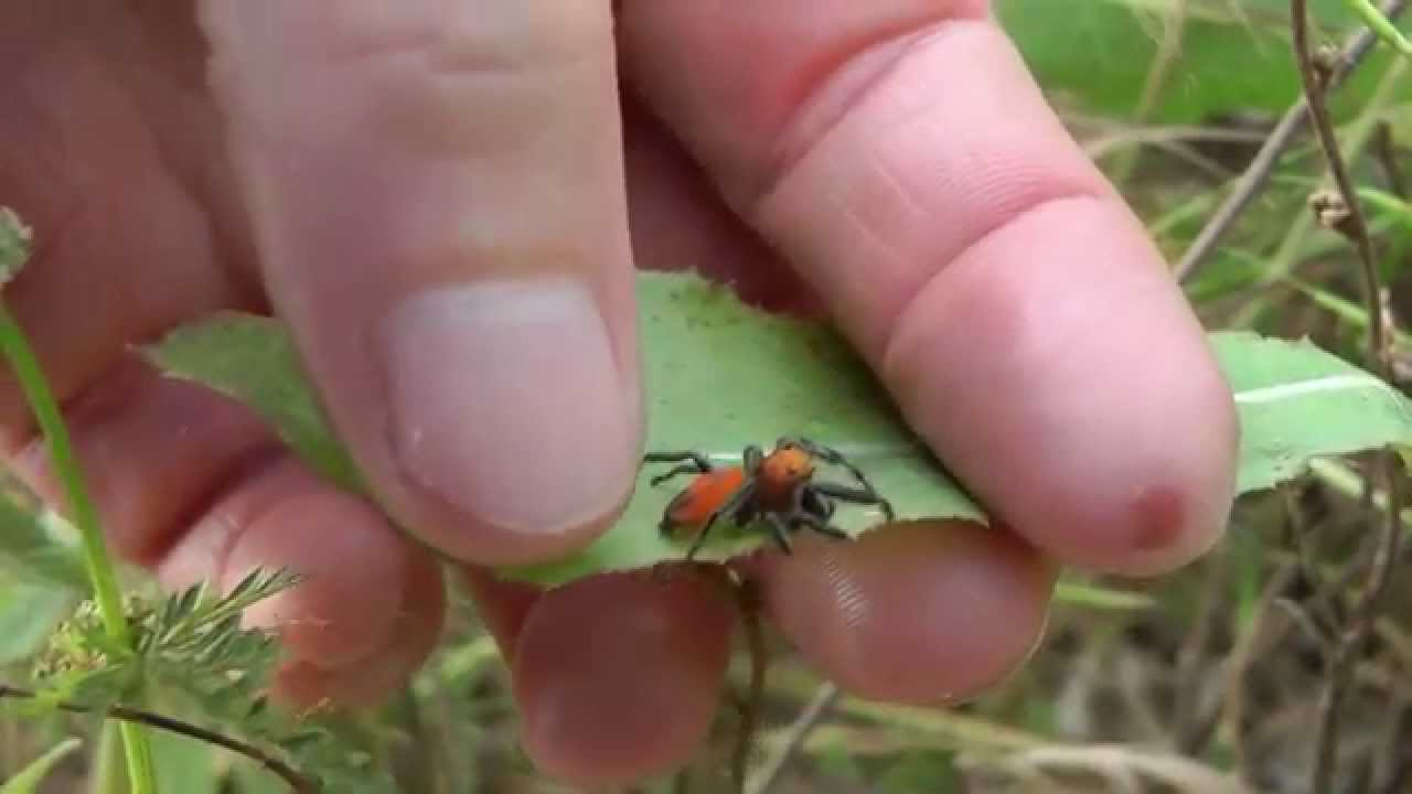 The Friendly Jumping Spider Youtube