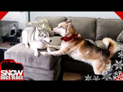 Husky goes CRAZY over New Couch!