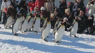 北海道旭川市の旭山動物園で23日、ペンギンが約500メートルの雪道...