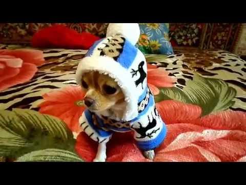 Чихуахуа Нюра просит кушать. серия 2 ❤ Chihuahua mini asks to eatиз YouTube · С высокой четкостью · Длительность: 1 мин36 с  · Просмотров: 75 · отправлено: 09.06.2016 · кем отправлено: СУНДУЧОК