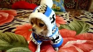 Мини чихуахуа примеряет одежду. Посылка из китая с aliexpress  \ Mini Chihuahua tries on new clothes