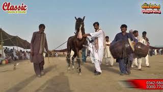 82 JAni/Best Horse Dance Punjab Meerik Sial Jhang 2018/ Bani Syed Qalandar Sultan