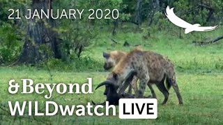 WILDwatch Live | 21 January, 2021 | Afternoon Safari | South Africa | Part One