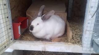 Окрол. Осмотр маточника 6-7 сутки, подбрасываем крольчат другой крольчихе
