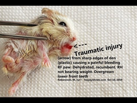 The Roborovski Hamster With An Injured And Painful Right Fore Paw Is Not Able To Walk