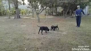 台灣犬,台灣土狗。20170301。小狗60天。